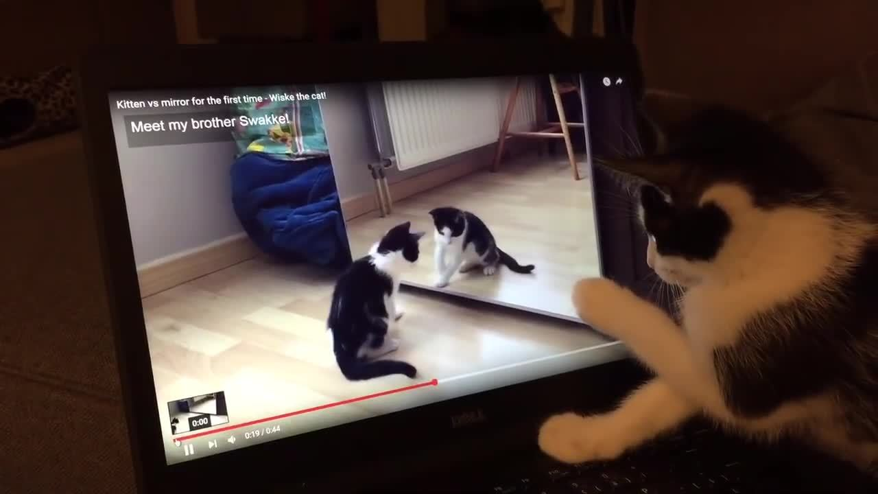 AnimalsBeingConfused, animalsbeingconfused, Confused Kitten Watches Video of Herself GIFs