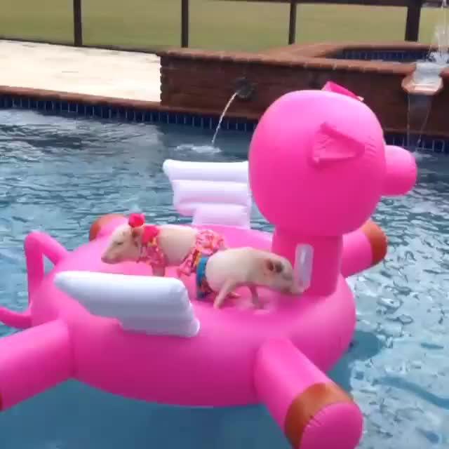 Watch [50/50] 2 cute piglets in a pool on a floating pig raft (SFW) | Cleaning up the remains of a body run crushed by a truck (NSFL) (reddit) GIF on Gfycat. Discover more FiftyFifty GIFs on Gfycat