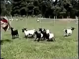 Watch and share Fainting GIFs and Animals GIFs on Gfycat