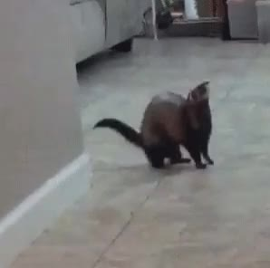 Watch and share Ferret-dance-raw GIFs by aetherx on Gfycat