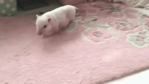 Watch this pig GIF on Gfycat. Discover more animals, pig GIFs on Gfycat