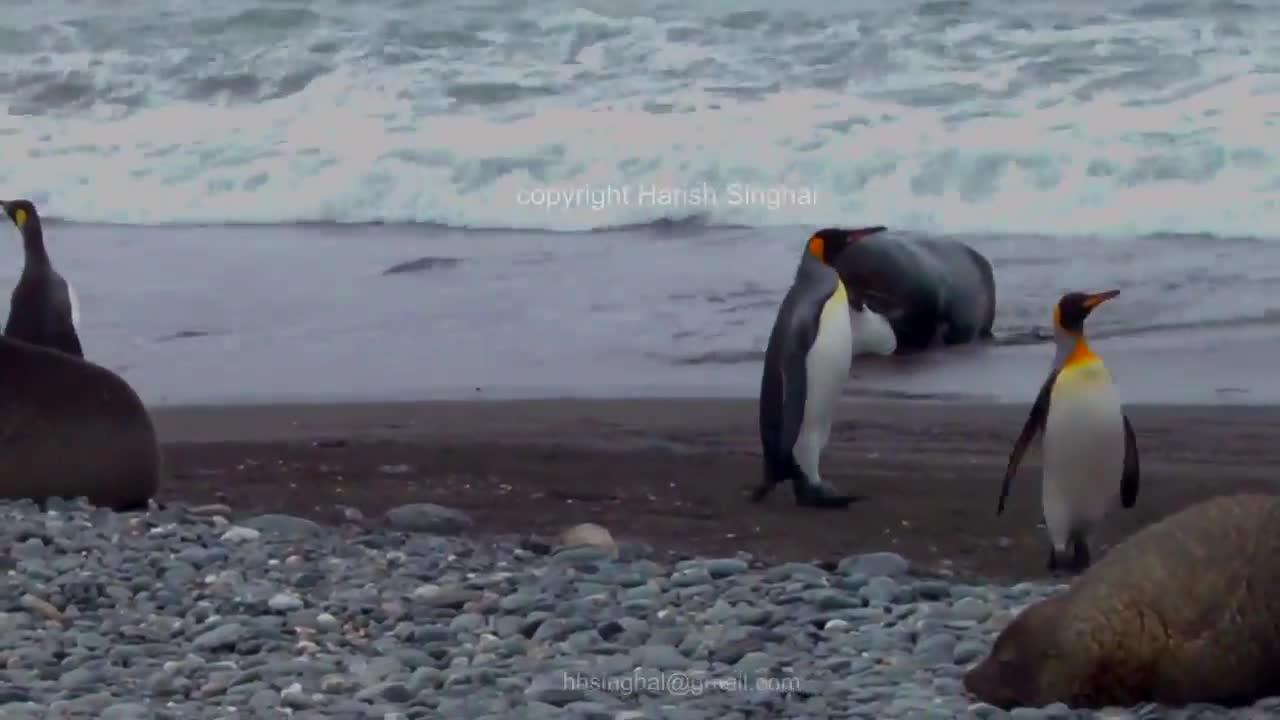 Fur Seal killing a King Penguin GIFs