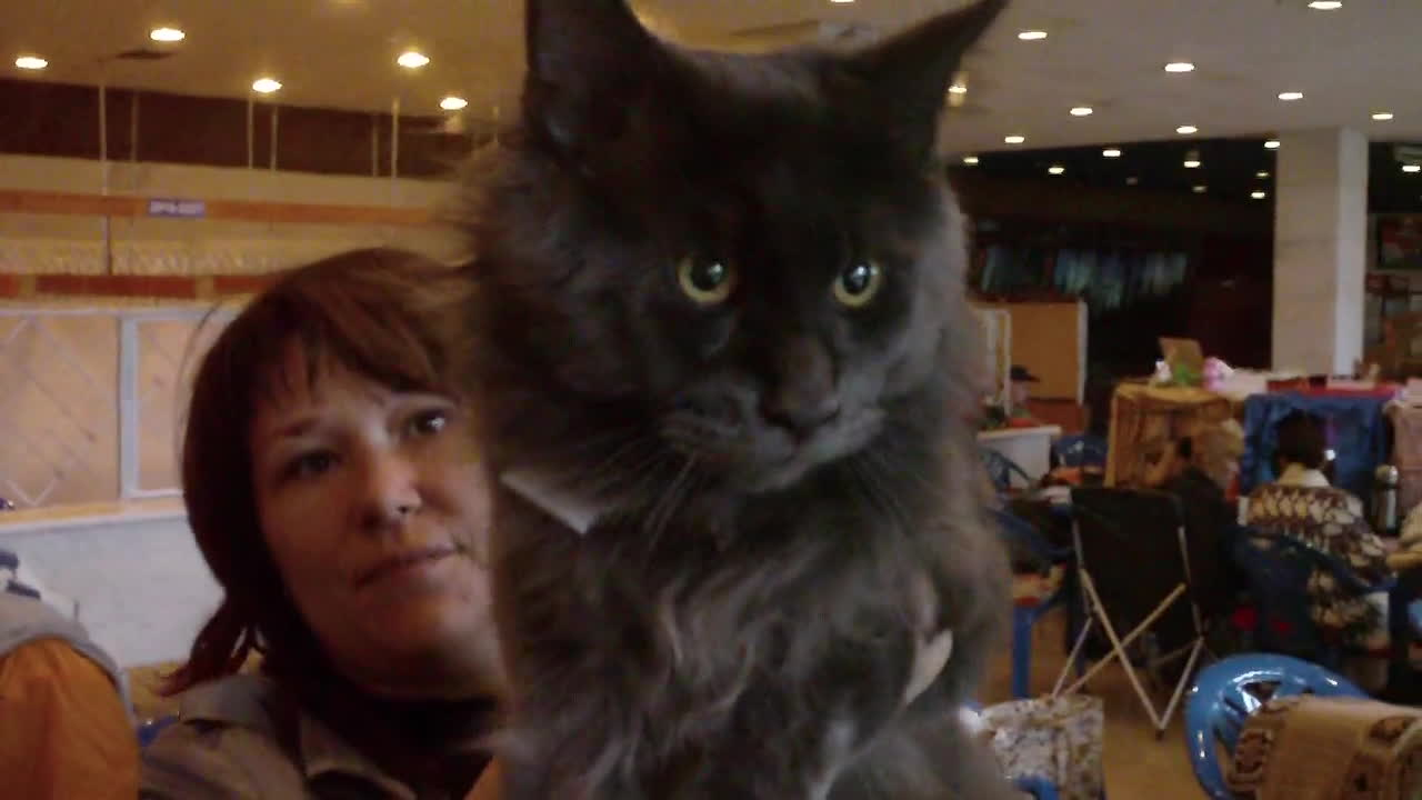 mainecoons, giant black maine coon GIFs