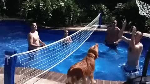 Watch and share Volleyball Golden Retriever GIFs on Gfycat