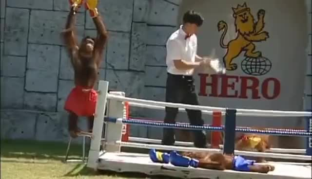 Watch Monkey Boxing GIF on Gfycat. Discover more related GIFs on Gfycat