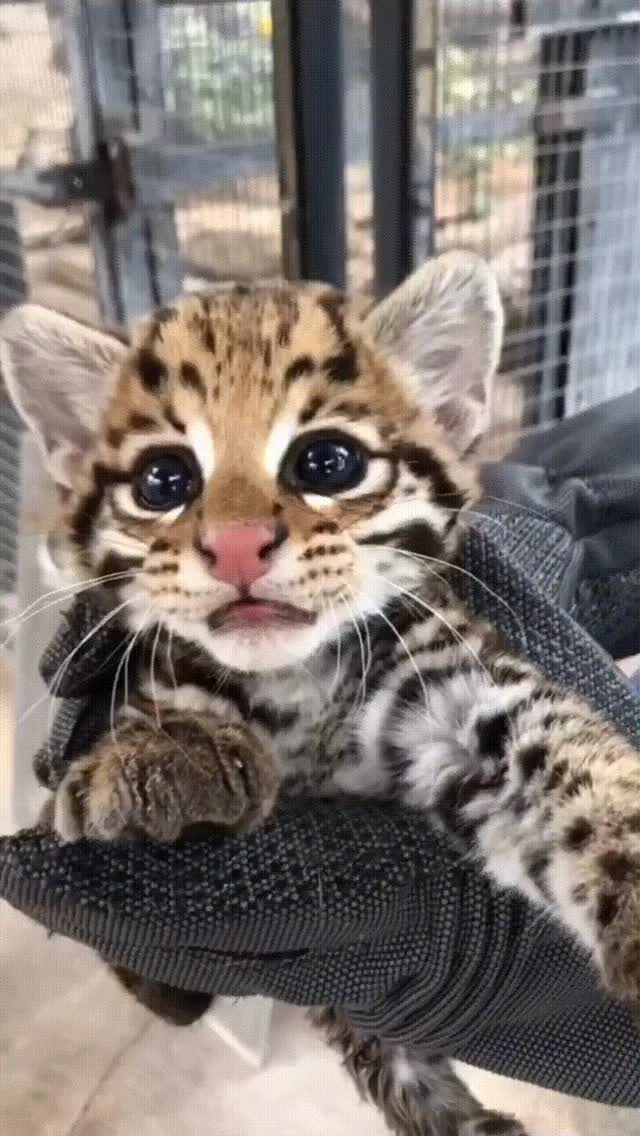 Watch and share Ocelot Kitten At The Cincinnati Zoo. GIFs on Gfycat