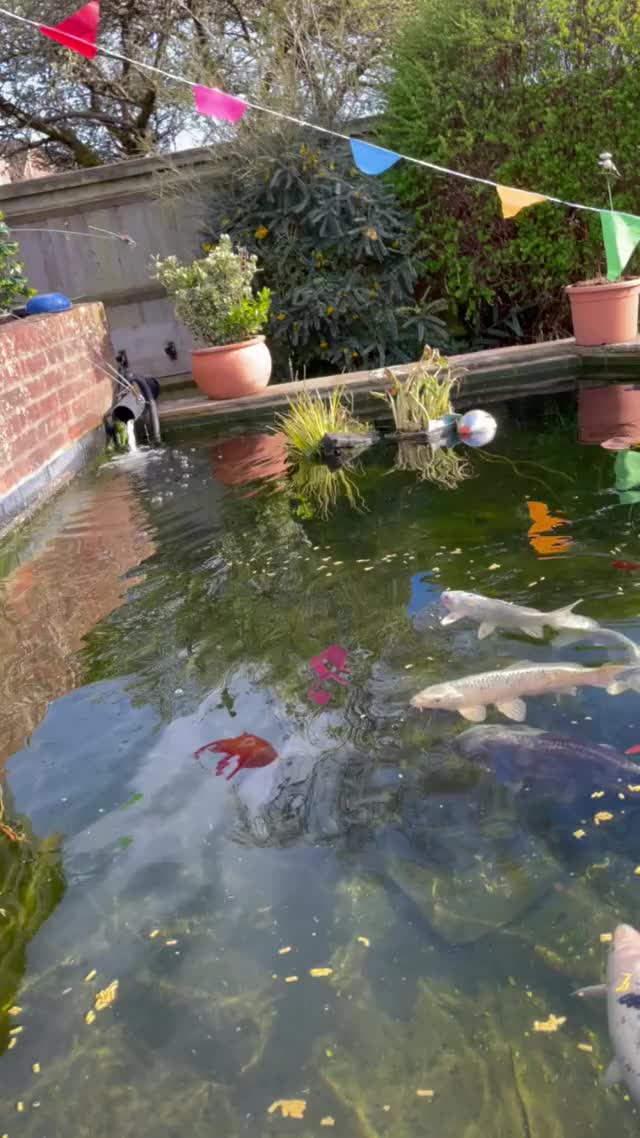 Watch and share My Dads Super Clear Koi Pond GIFs by mrsimon23 on Gfycat