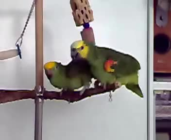 Watch and share Parrot GIFs and Funny GIFs on Gfycat
