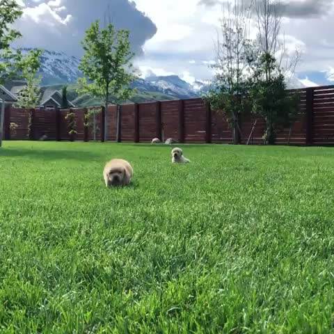 goldenretrieverpuppies, sunnyside goldens eden, utah 🌻, pupper heaven GIFs