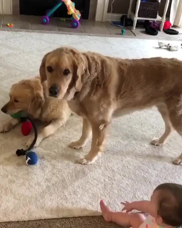 Tag Someone Who You Know Would Smile From This Retriever Video