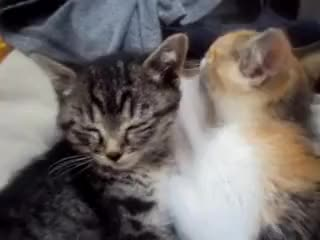 Watch and share Cute Kittens Cuddling GIFs on Gfycat