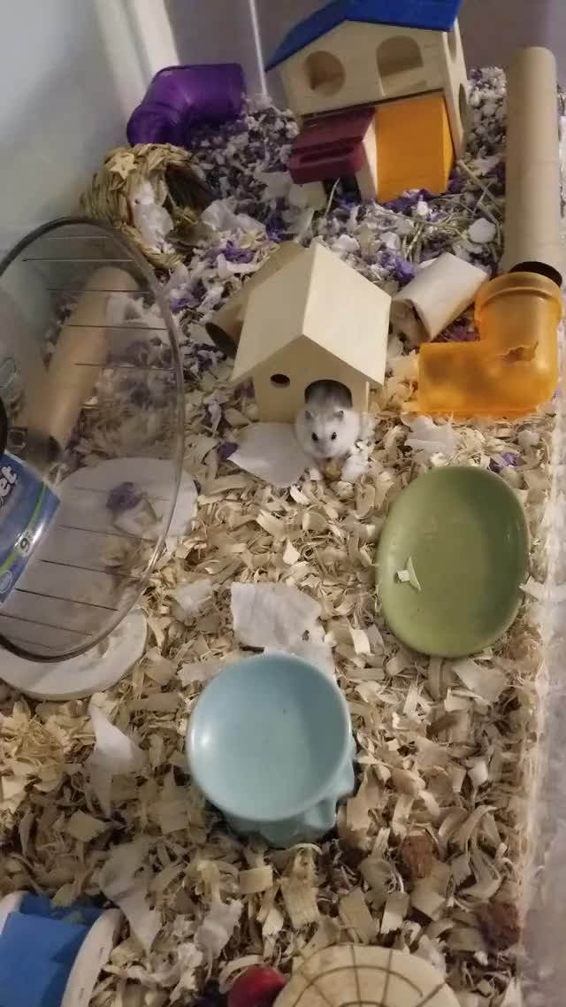 Watch and share Hamster GIFs by bheighkeigh on Gfycat