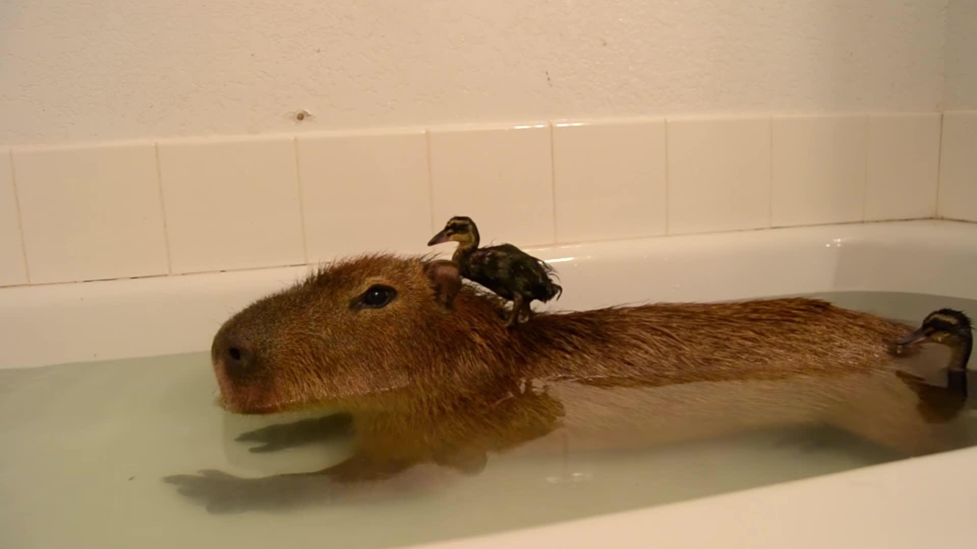 animals, awesome, capybara, crazy cody's creatures, ducks, joejoe the capybara, pets & animals, Enjoying bathtime with friends GIFs
