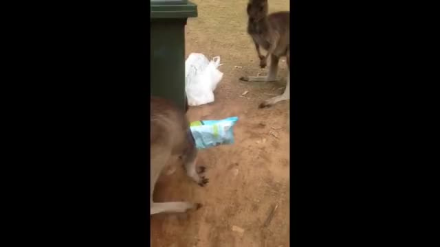 Watch and share Kangaroo GIFs and Crikey GIFs on Gfycat