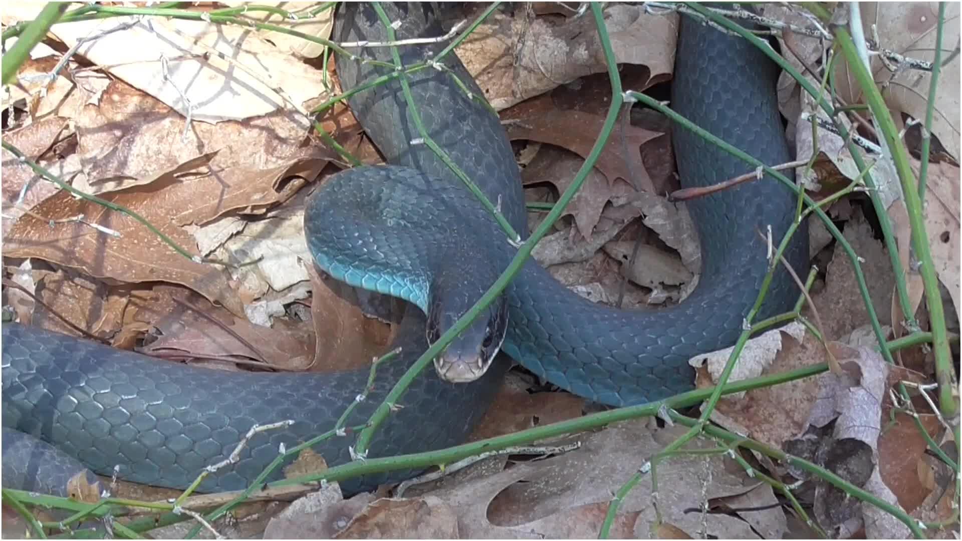 Blue Racer Snake GIFs