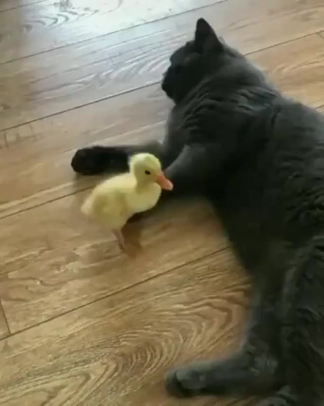 Watch and share Duck GIFs and Cat GIFs on Gfycat