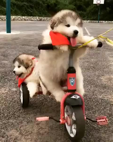 Watch 😘☺️🙃 . . . From: unknown GIF on Gfycat. Discover more adorable, alaskan, alaskanmalamute, doglover, dogs, haha, malamute, pet, puppy, thursday GIFs on Gfycat
