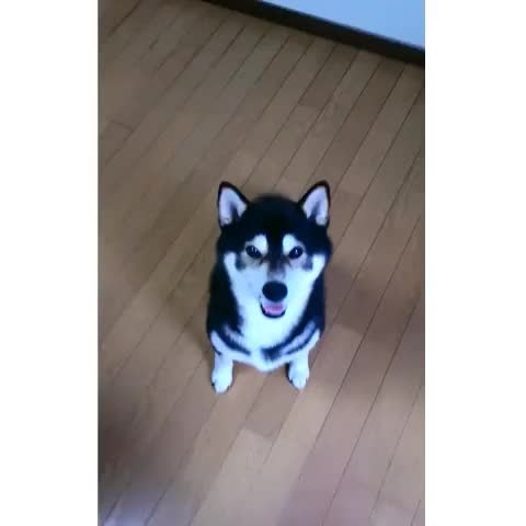 Watch たっち!ちょーだい!! #dogs #shiba GIF by Josh (@kngroo) on Gfycat. Discover more related GIFs on Gfycat
