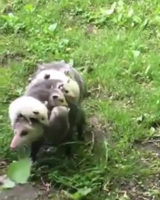 Watch and share Animals GIFs and Opossum GIFs by Yuyu on Gfycat