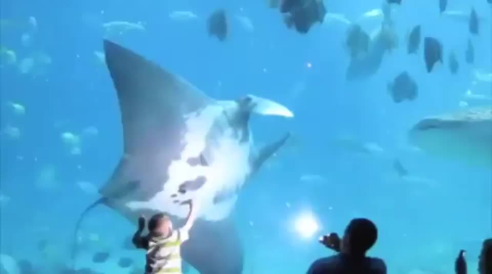 nature, shark bumping into manta ray GIFs