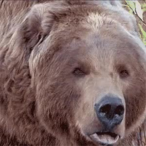 Watch and share Animal Attack GIFs and Bart The Bear GIFs on Gfycat