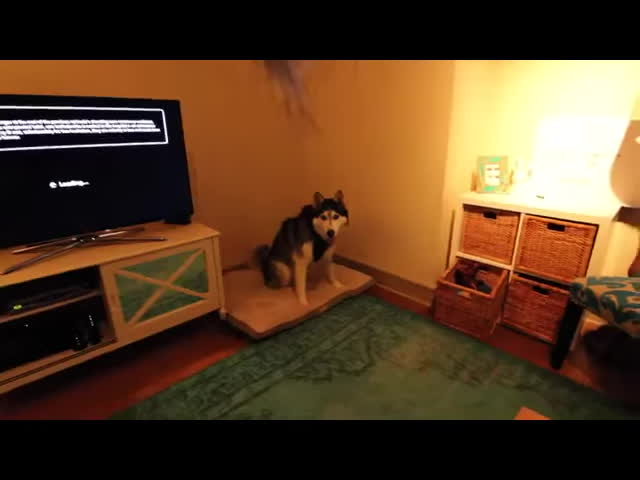 achoo, dogs, funny, gifs, sneeze, sneezing, Husky Sneeze GIFs