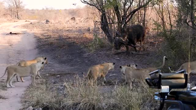 Watch and share Buffalo Vs Lions GIFs by Londolozi Game Reserve on Gfycat