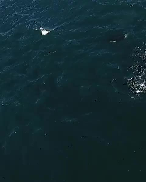 Watch and share Orcas Hunting A Pacific White-sided Dolphin GIFs by Pardusco on Gfycat