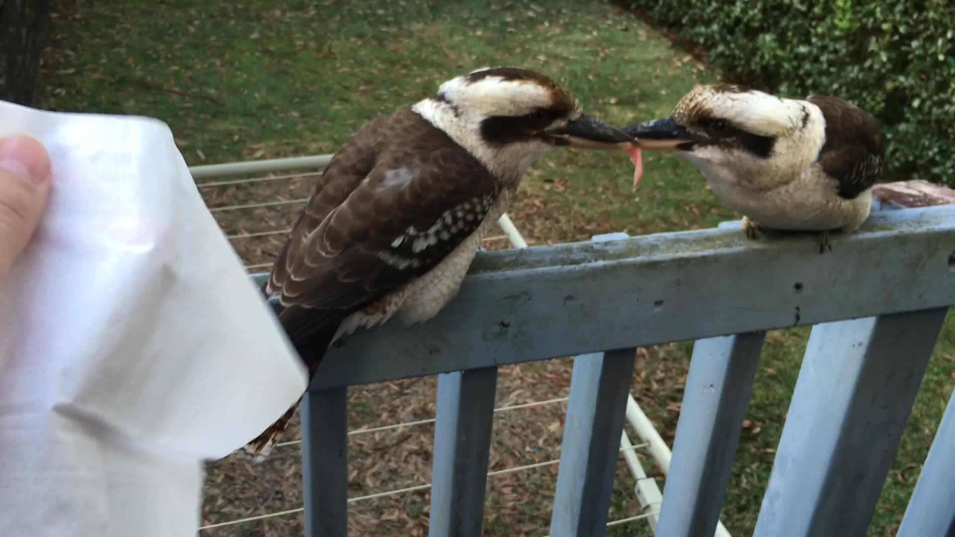 Aussie kookaburras not giving up on a tug-of-war. GIF ... - photo#6