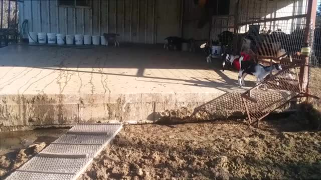 Watch and share Goat Parkour GIFs by KNS Farm on Gfycat