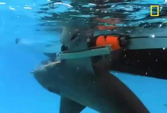 Watch Bull Sharks | National Geographic GIF on Gfycat. Discover more related GIFs on Gfycat