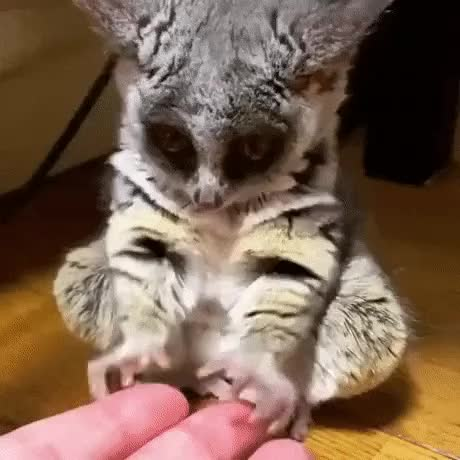 Watch and share Galago GIFs by longshanks on Gfycat