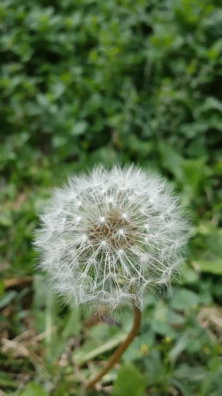gfycats, I could make these all day. Damned dandelions! (reddit) GIFs