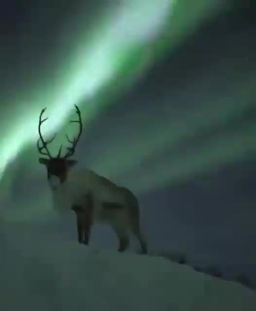 Watch Reindeer under the Aurora Borealis (@vanessafdeztho) GIF on Gfycat. Discover more nature GIFs on Gfycat