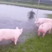 Watch this awww GIF by The GIF Smith (@sannahparker) on Gfycat. Discover more awww, cute, pig, puddle, splash GIFs on Gfycat