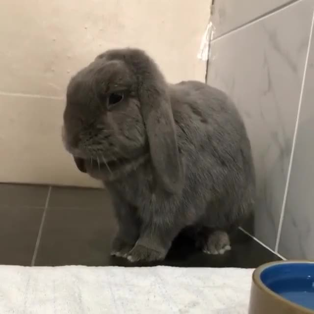 "Watch and share Clover + Bear + Arlo On Instagram: ""Flick Flick 😍 #rabbit #cute #love #bunnies #bunnylove #bunniesofinstagram #rabbitsofinstagram #pet #ins GIFs on Gfycat"