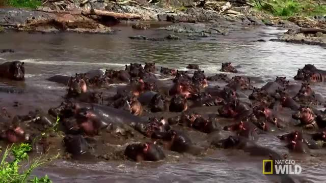 Watch Croc vs. Hippo GIF by @krs1 on Gfycat. Discover more related GIFs on Gfycat