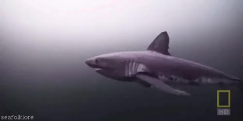 Watch and share Salmon Shark GIFs and Marine Life GIFs on Gfycat