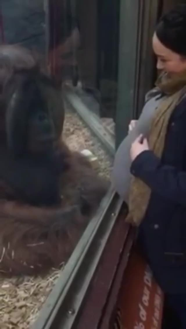 Watch Orangutan gives pregnant woman's belly a kiss GIF by HoodieDog (@testycase) on Gfycat. Discover more related GIFs on Gfycat