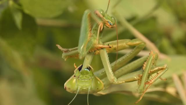 Watch and share Praying Mantis GIFs and Documentary GIFs on Gfycat