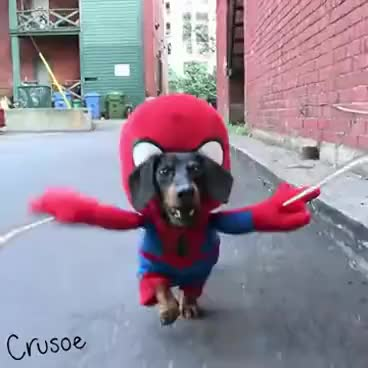 Watch and share The Amazing Spider-Weenie! GIFs on Gfycat