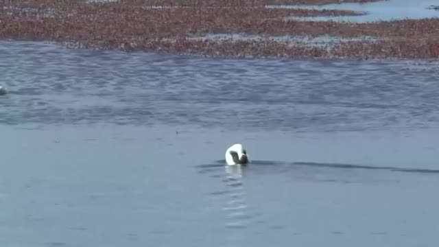 Watch and share The Unique Mating Dance Of The Hooded Grebe GIFs by tothetenthpower on Gfycat