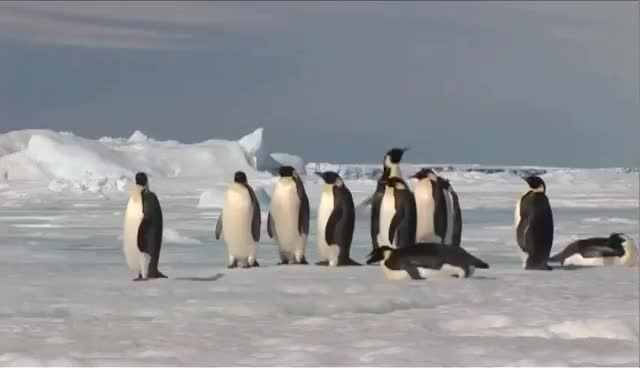Watch and share Emperor Penguins In Antarctica GIFs on Gfycat