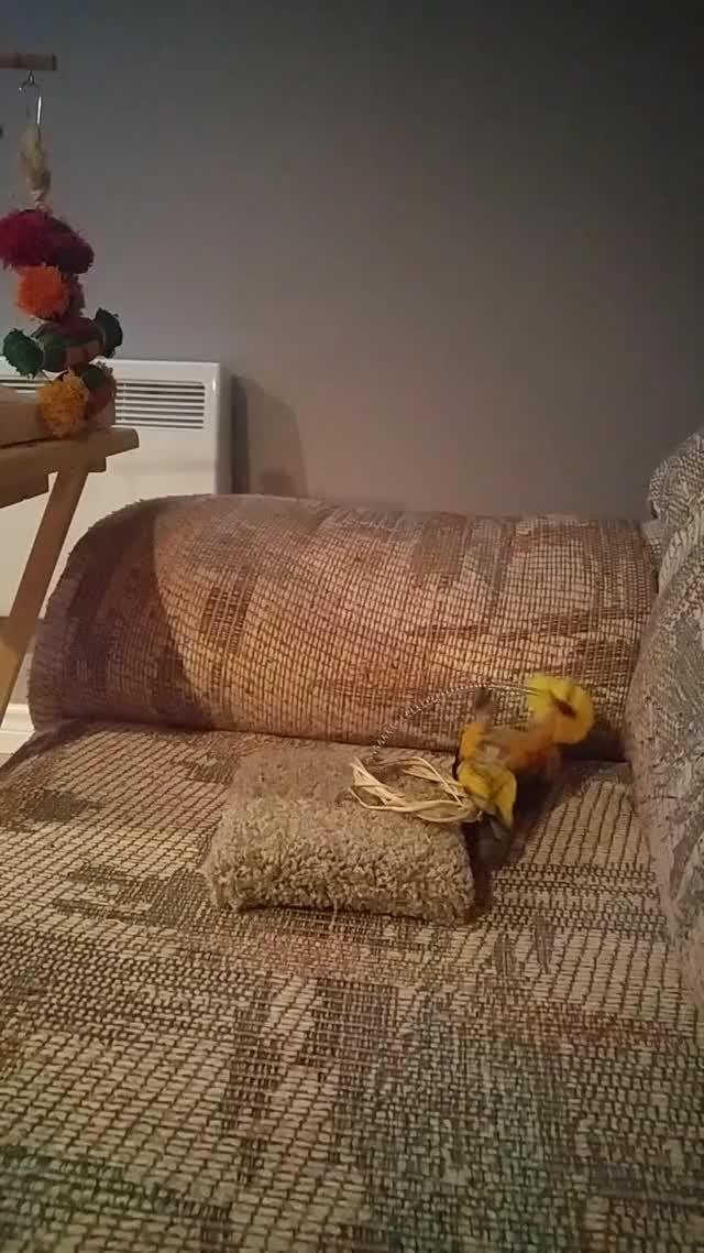 Watch and share Parrots GIFs and Caique GIFs by whynounderscores on Gfycat