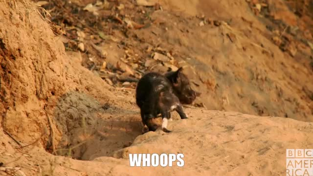 Watch Dynasties Whoops Wolf Pup GIF on Gfycat. Discover more animal, animals, bbc america, bbc america dynasties, bbc america: dynasties, bbcamerica, dynasties, fail, oops, painted wolf, painted wolves, whoops, wolf, wolves GIFs on Gfycat