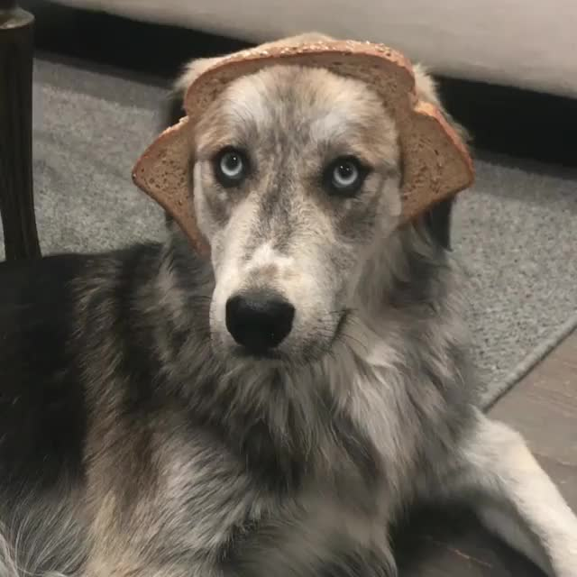 Watch and share Pure-bread Dog. GIFs by natsdorf on Gfycat