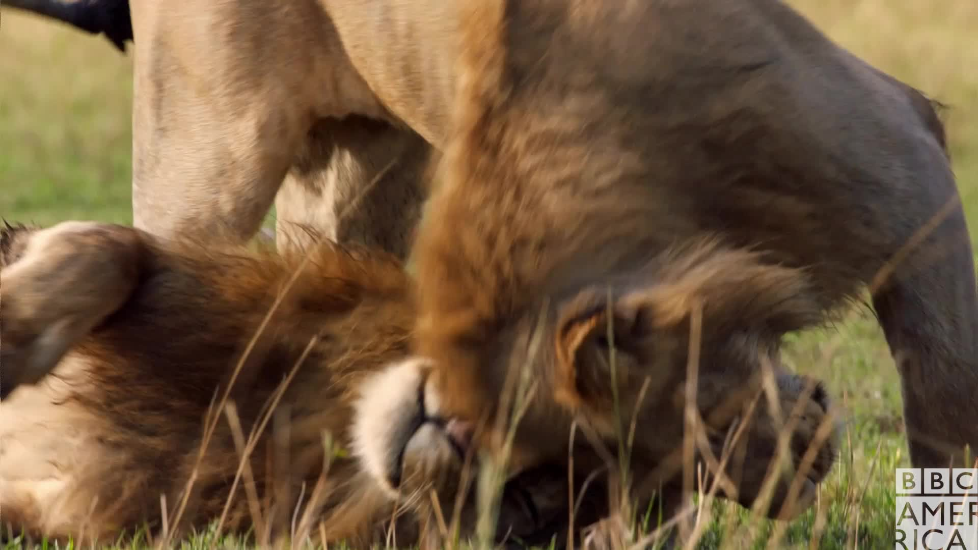 animal, animals, bbc america, bbc america: dynasties, cuddle, dynasties, lion, lions, love, snuggle, tired, Dynasties Lions Tired GIFs