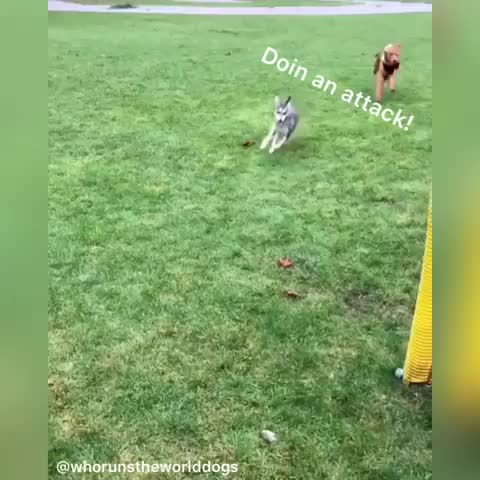 Watch and share Heckin Went In Fur An Attack And Regretted It! Such An Epic Fail 🤧 Omw Home To Go Be Pupset 😪 •••••••••••••••••••••••••••••••••••••••••••• GIFs by Master1718 on Gfycat