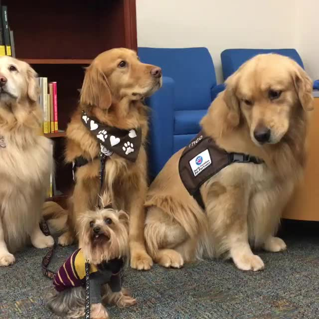 Source:  Winnie Therapy Dog on facebook and instagram GIFs