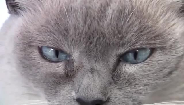 Watch and share Cat's Eyes Quiver And Shake – Nystagmus - Blue Point Siamese GIFs on Gfycat